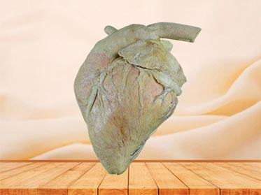 heart blood vessel of cow specimen plastination