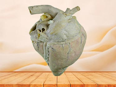 heart blood vessel of cow teaching specimen