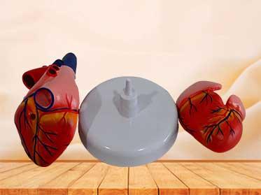 heart medical teaching model