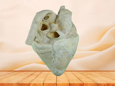 heart of cow plastination