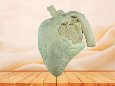 heart of cow specimen plastination