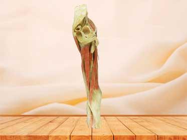 hip-mid leg specimen