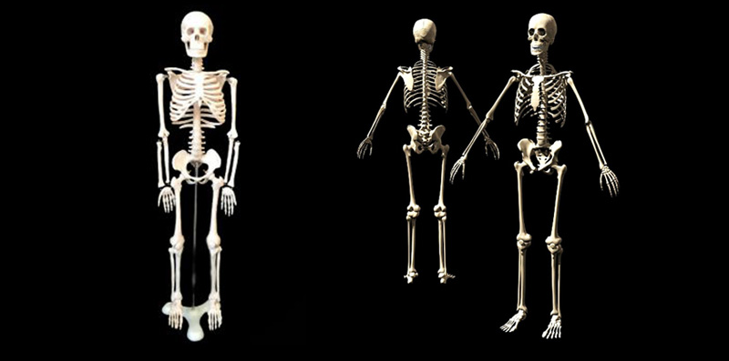 human whole body skeleton