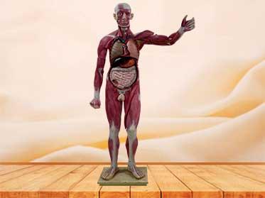 human body muscle model