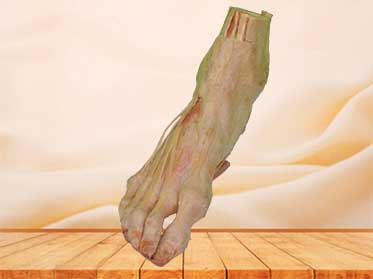 human foot plastination