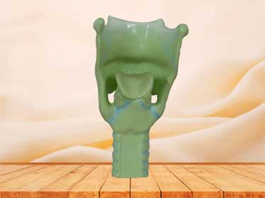human larynx cartilages model