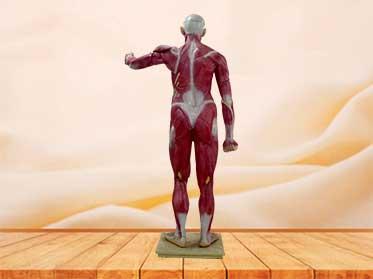 human muscle model