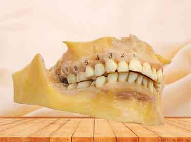 human permanent teeth