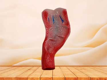 human rectum cavity model