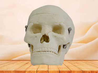 human skull model for students
