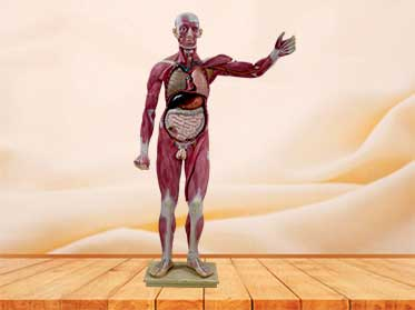human whole body muscle model