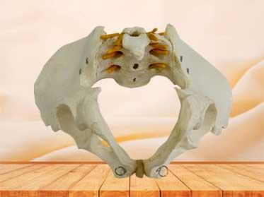 male pelvis model