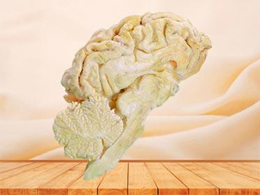 medical brain hemisphere of sheep specimen