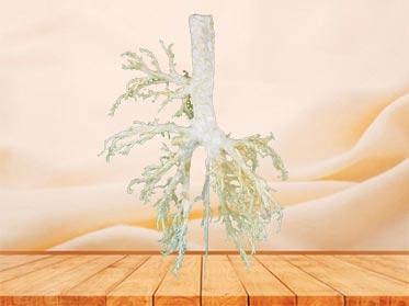 medical bronchial tree of cow teaching specimen