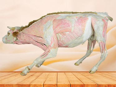 medical cattle teaching specimen