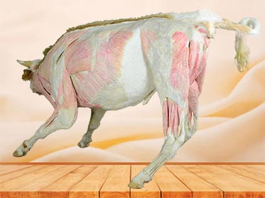 medical cow plastination