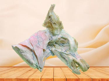medical deep vein of dog head and neck specimen