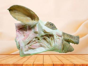 medical deep vessels and nerves of pig head specimen