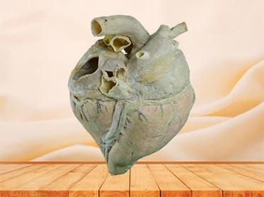 medical heart blood vessel of cow speciemn