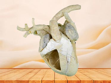 medical heart cavity of cow teaching specimen