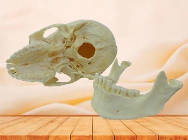 medical super human skull specimen