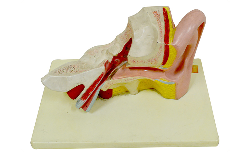 model-of-ear-dissection-for-medical-teaching-application