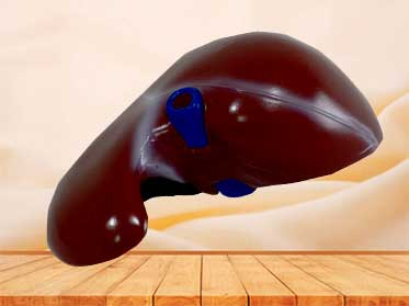 natural size liver model