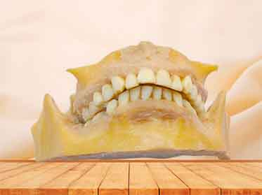 permanent teeth specimen