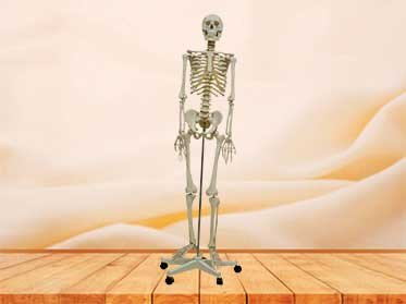 plastic skeleton model