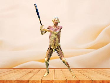 playing baseball plastinated specimen