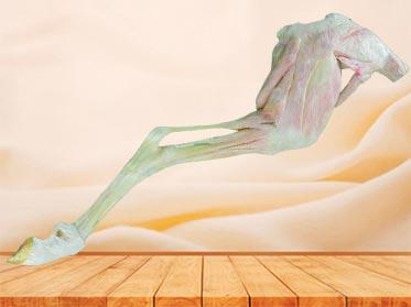 posterior limb muscle of sheep plastination