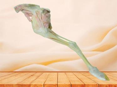 posterior limb muscle of sheep teaching specimen