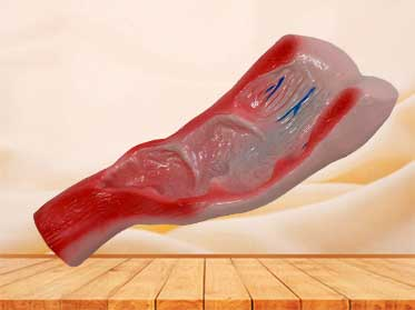 rectum cavity anatomy model