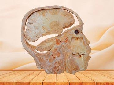 sagittal section of head plastinated specimen