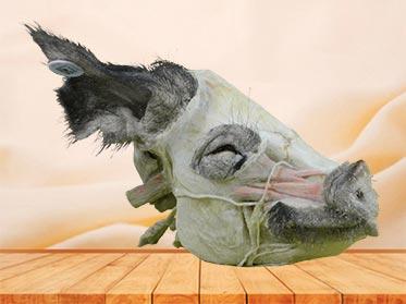 sagittal section of pig head plastinated specimen