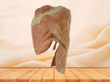 sagittal section of shoulder muscle