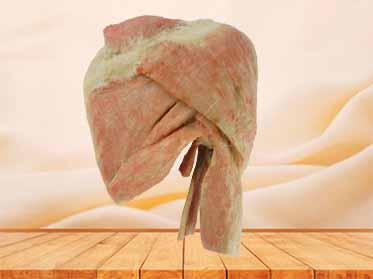 sagittal section of shoulder muscle plastinated specimen