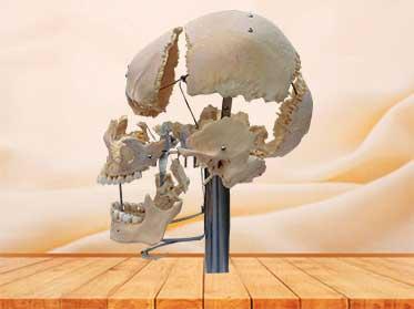 separated human skull plastinated specimen with teeth