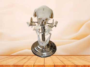 separated skull plastinated specimen