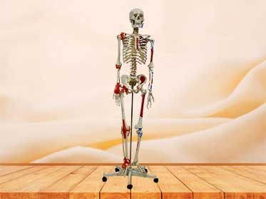 skeleton model with muscles and joint ligaments