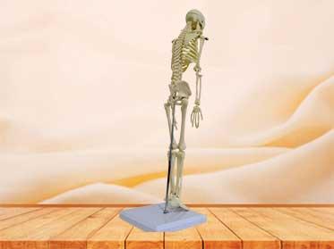 small size skeleton model