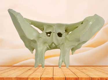 sphenoid bone model