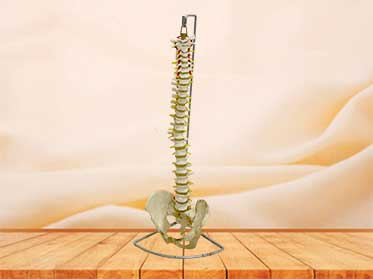 spinal column model with pelvis