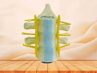 spinal cord medical model