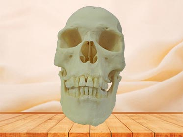 super human skull plastinated  specimen