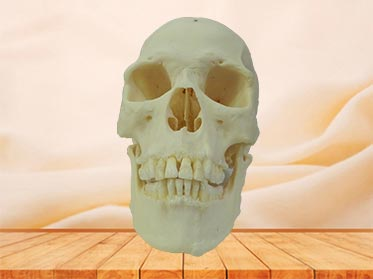 super human skull plastination