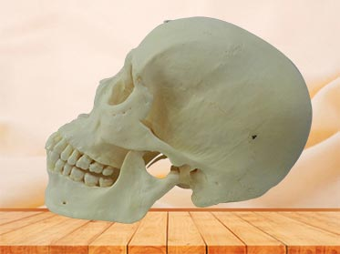 super human skull teaching specimen