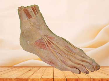 superficial muscle of foot medical specimen