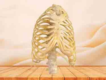 thorax anatomy specimen