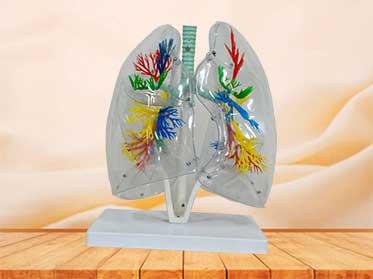 transparent bronchopulmonary model